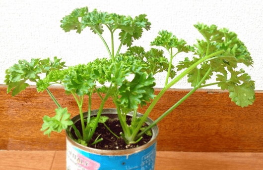 parsley5
